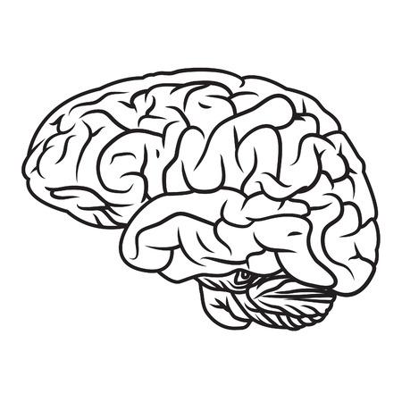 Illustration of human brain.