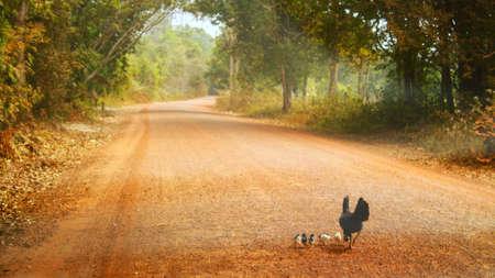 road: Chicken family Stock Photo