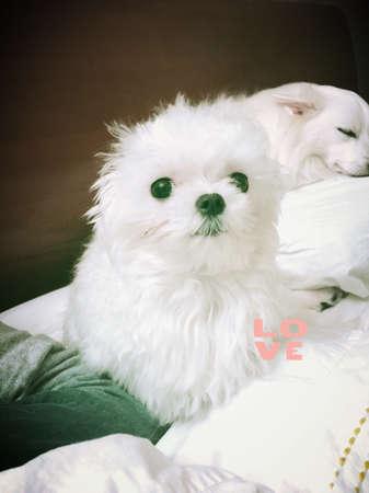 white dog: Cute white Maltese teacup