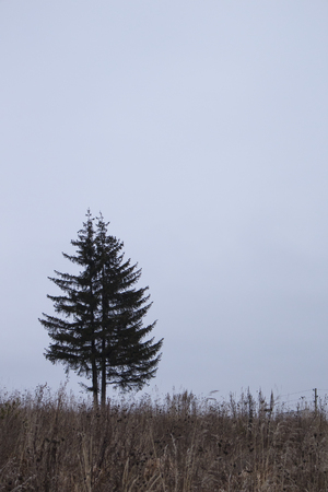 Photo of two spruce on a autumn field. Autumn effect is great making of a big grey sky.