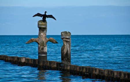 carbo: Kormoran (Phalacrocorax carbo), Baltic Sea Stock Photo