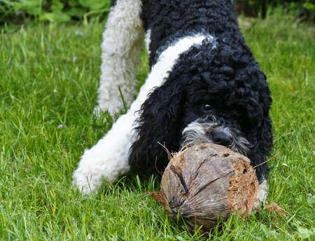 puppydog: poodle pup