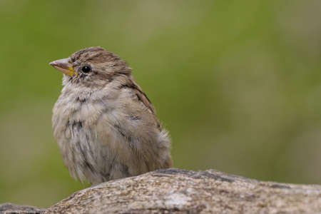 passer by: sparrow , Passer domesticus Stock Photo