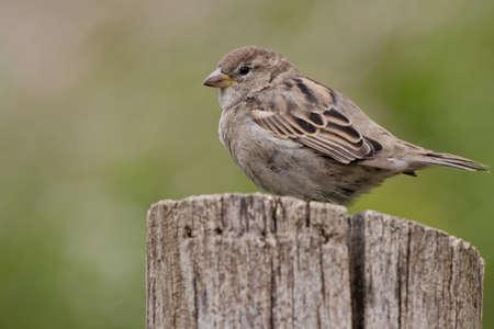 domesticus: sparrow , Passer domesticus Stock Photo