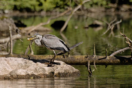gray heron, Ardea cinerea photo
