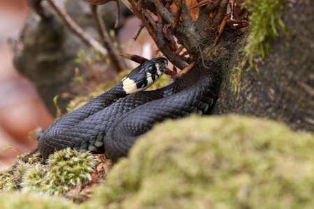 grass snake: Grass serpente, Natrix natrix Archivio Fotografico