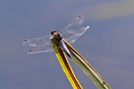 libellula: Dragon-fly, flat belly, Libellula depressa  Stock Photo