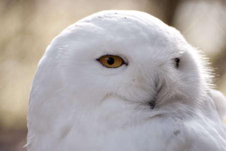 snow owl, Bubo scandiacus