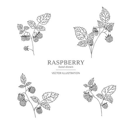 Hand drawn raspberry branches isolated on white background. Collection of botany vector illustrations. EPS 10