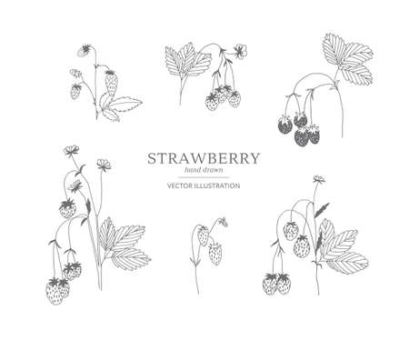 Hand drawn strawberry branches isolated on a white background. Collection of botany vector illustrations.