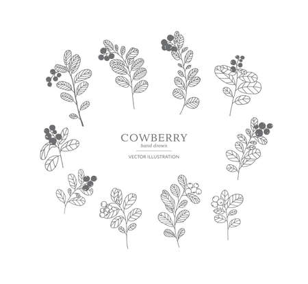 Hand drawn cowberry branches isolated on a white background. Collection of botany vector illustrations. EPS 10