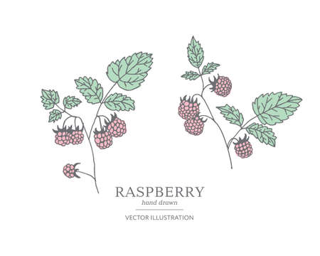 Hand drawn raspberry branches isolated on white background. Collection of botany vector illustrations. EPS 10 Ilustracja