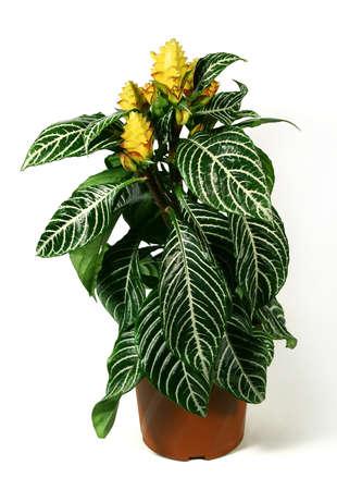 Blühende Pflanze von Aphelandra (Zebrapflanze) im Blumentopf isoliert auf weißem Hintergrund.