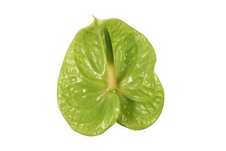 Green anthurium flower isolated on a white background. Stock Photo