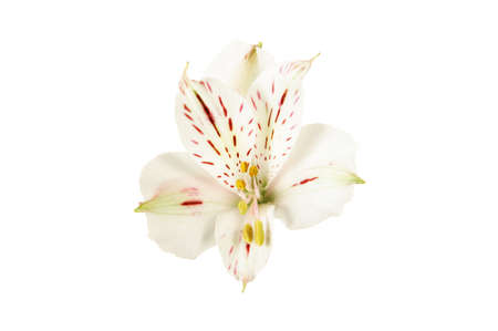 White alstroemeria flower isolated on white background.