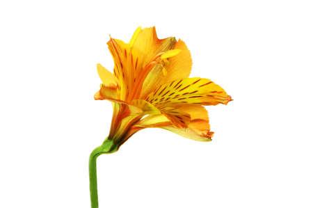 Alstroemeria flower isolated on white background.