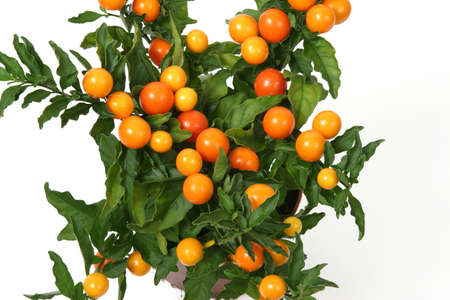 Solanum plant in a pot. Christmas cherry plant on white background.