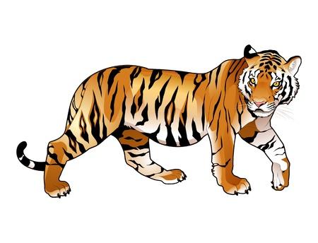 tigre caricatura: Red tigre. Dibujos animados y vector de los animales aislados. Vectores