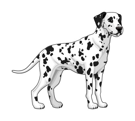 dalmatian puppy: Dalmatian. Vector isolated dog. Illustration