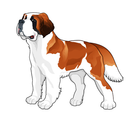 Saint Bernard. Vector isolated dog. Illustration