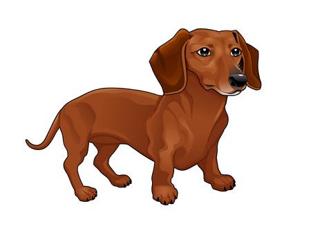 Dachshund. Vector isolated dog. Vettoriali