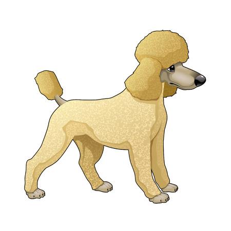 Poodle. Vector aislado perro.