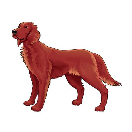 setter: Irish setter. Vector isolated dog.