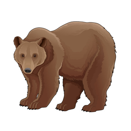 grizzly: Brown bear. Vector isolated animal.