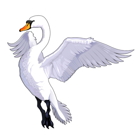 swans: Flying swan. Vector isolated animal.