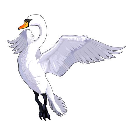 Vliegende zwaan. Vector dier geïsoleerd.