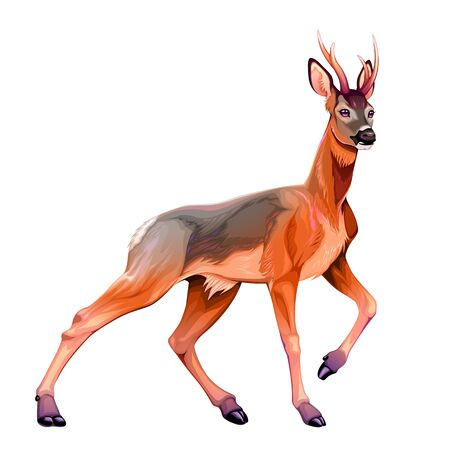 Illustration of the roe deer. Vector isolated animal Ilustrace