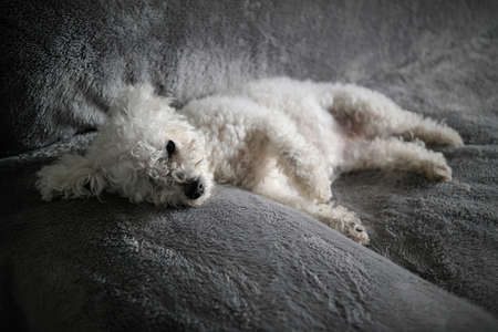 couch: Couch Bichon