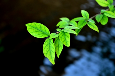 tea plantation: Green leaves above the water Stock Photo