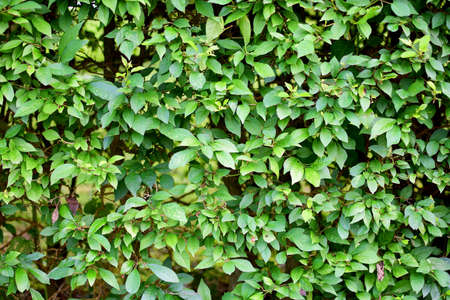 hedge: green hedge