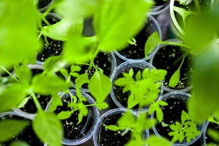 Home sprouts background. Seedlings green leaves and stems in plastic cups. Sprouted Grow
