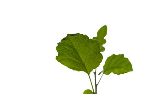 Egplant green leafs isolated on white background