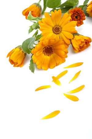Marigold flowers, isolated on white.  版權商用圖片