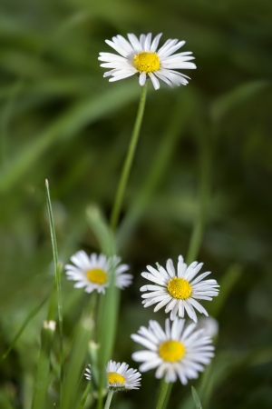 Green grass and daisies in the nature  photo