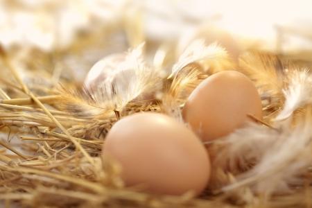 gallina con huevos: huevos frescos en un nido Foto de archivo