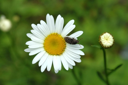 hexapod: A Beetle on daisy Stock Photo