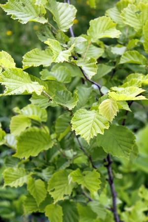 corylus: Young hazel bush as it is.