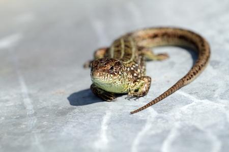 zootoca: Zootoca vivipara is sunbathing on metal sheet
