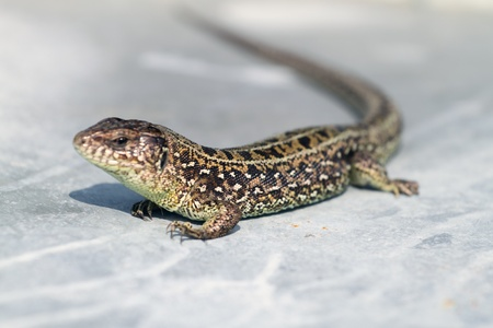 viviparous lizard: Zootoca vivipara is sunbathing on metal sheet