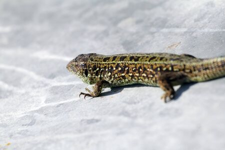 Eastern Sand Lizard (Lacerta agilis exigua) on metal sheet Stock Photo - 10328582
