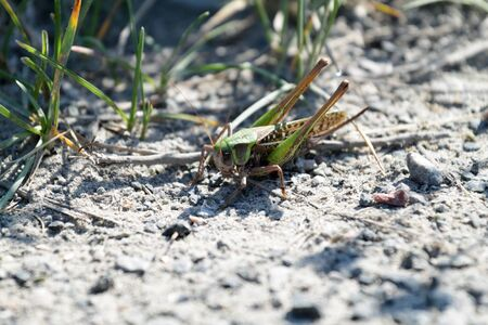 basking: A green grasshopper is basking on the country road