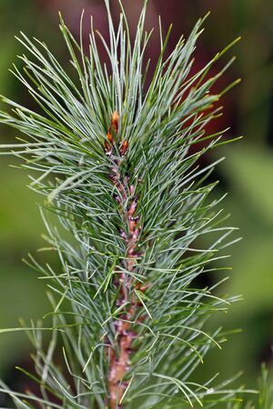 apex: Shoot apex of Pinus sibirica cedar