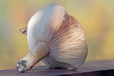 torminosus: Edible boletus still life