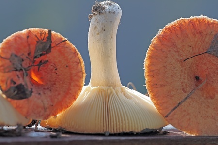 lactarius: Lactarius torminosus still life