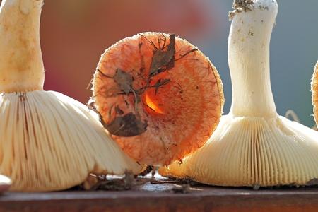 torminosus: Edible mushroom still life