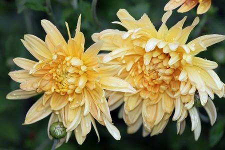 Yellow chrysanthemum in the autumn rains Stock Photo